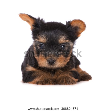 adorable yorkshire terrier puppy lying down - stock photo