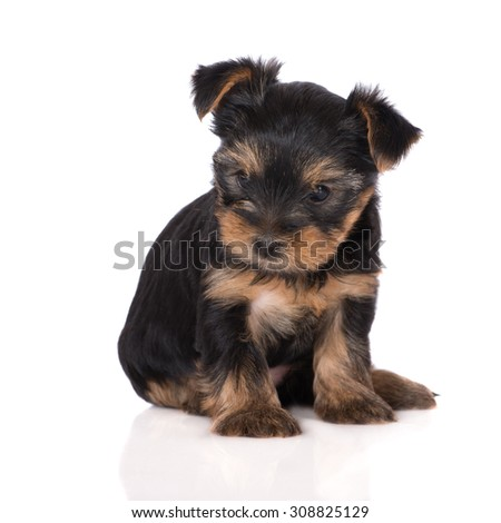 adorable yorkshire terrier puppy sitting on white - stock photo