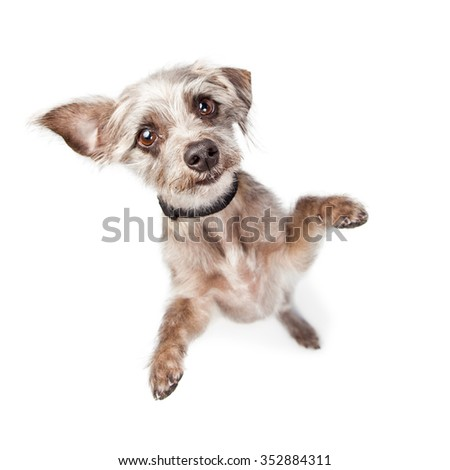Adorable young little mixed terrier breed dog standing and looking up into camera with paws out - stock photo