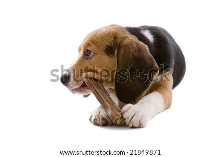 Adorable young puppy dog chewing on a bone on white background