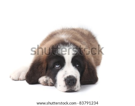 Adorable Young Saint Bernard Puppy on White Background - stock photo