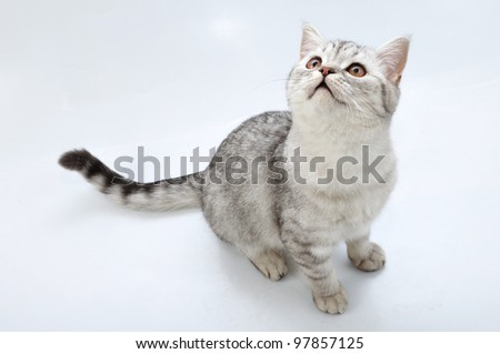 adorable young silver tabby Scottish cat looking up - stock photo