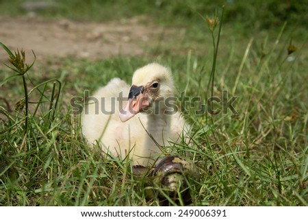 Adorable young swan. - stock photo
