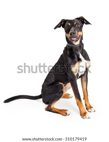 Adorable young tri-color hound mixed breed dog sitting and looking forward at the camera - stock photo