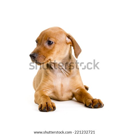 Adorably cute eight weeks old purebred red German Pinscher puppy shyly looking to the left on white background. - stock photo