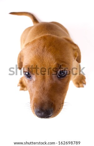 Adorably cute eight weeks old purebred red German Pinscher puppy shyly looking up at the camera on white background. - stock photo