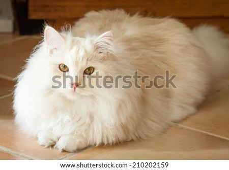 Adorably cute white and ginger tabby Persian Ragdoll cat lying down and looking up at the camera - stock photo