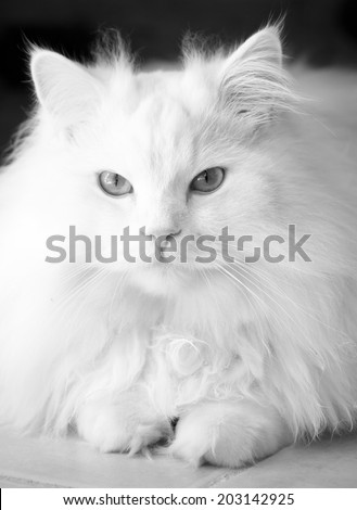 Adorably cute white tabby Persian Ragdoll cat sitting relaxed and making friendly eye contact - black and white - stock photo
