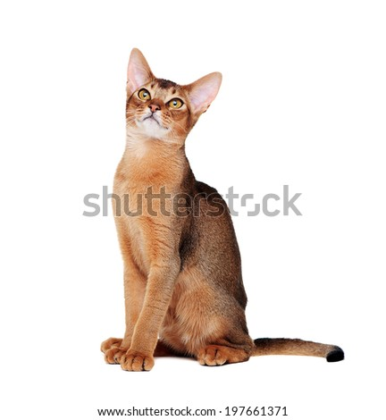adult abyssinian cat  looking up  side view portrait - stock photo