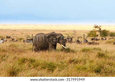 Adult african bush elephants (Loxodonta Africana) grazing in African savanna on bush and grass, wildebeest and zebra in the background. Wildlife observation, safari concept.  - stock photo