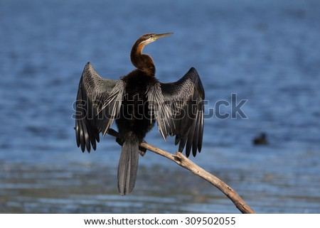 Adult african darter in breeding plumage perched near water