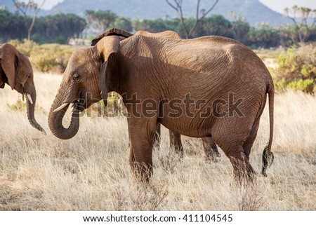 Adult African elephant busy grazing in the bush - stock photo