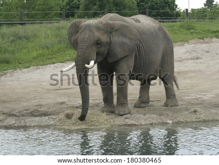 Adult African Elephant feeding by the water - stock photo