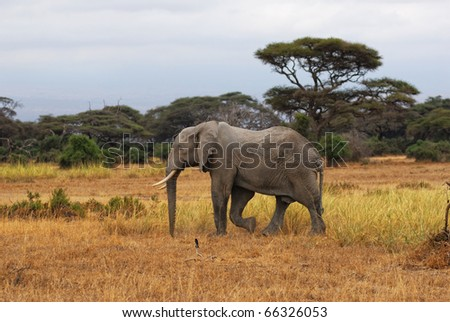 Adult African elephant is walking in savannah - stock photo