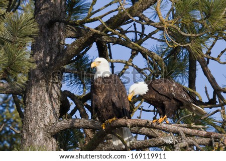 Adult american bald eagle perch on a pine tree in Coeur d' Alene, Idaho - stock photo