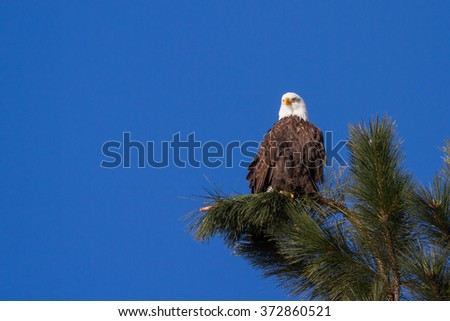 Adult american bald eagle perched on a tree branch, Coeur d' Alene, Idaho. 2015 - stock photo