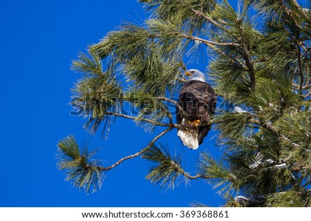 Adult American Bald Eagle perched on a tree with beautiful blue sky in the background - stock photo