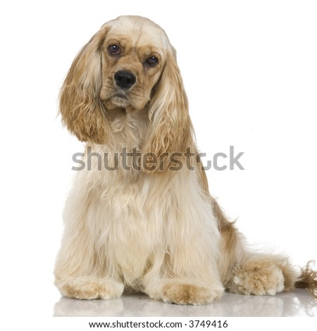 adult American Cocker Spaniel Breed in front of a white background - stock photo