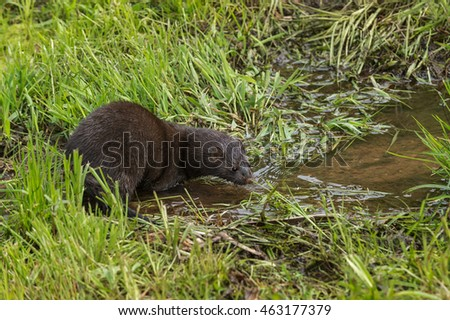 Adult American Mink (Neovison vison) Looks Into Water - captive animal