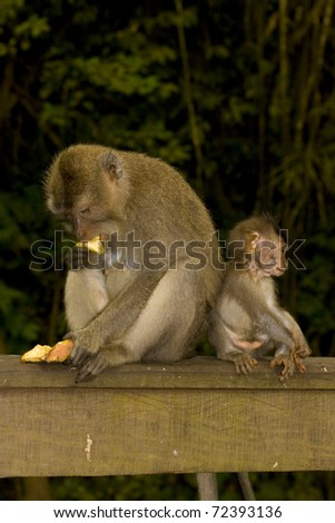 Adult and baby crab eating macaques (Macaca fascicularis) sitting back to back. Taken in Ubud Monkey Forest, Bali.