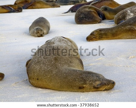 Adult and baby sea lions sleeping at sunset on the beach in the Galapagos Islands