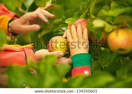 Adult and child hands picking ripe apples from tree - stock photo
