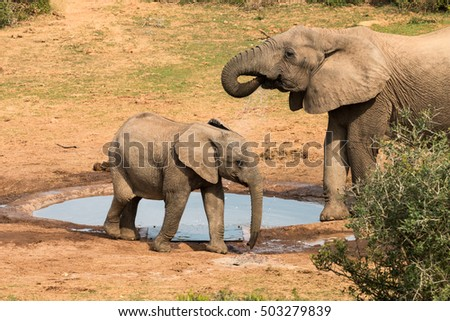 Adult and juvenile African Elephant (Loxdonta) standing and drinking at a water hole in the bushveld in Addo Elephant Park, South Africa