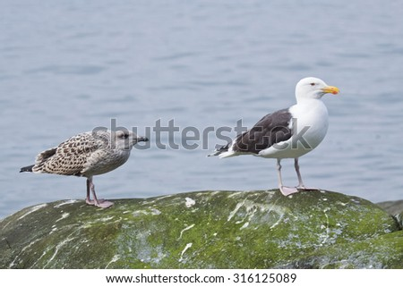 Adult and juvenile Great black-backed gulls resting on a rock.