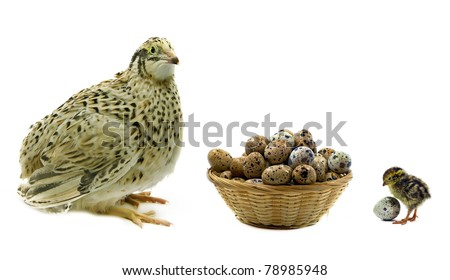 Adult and nestling quails and basket with eggs isolated on white background