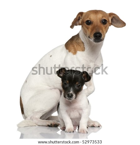 Adult and puppy Jack Russell Terrier sitting in front of white background