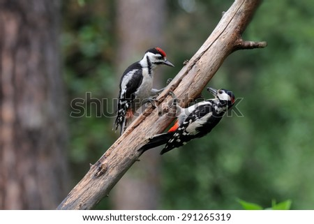 Adult and young Great Spotted Woodpeckers in the forest - stock photo