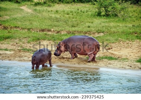 Adult and young hippos on the shore of Kazinga Channel at Queen Elizabeth National Park, Uganda - stock photo