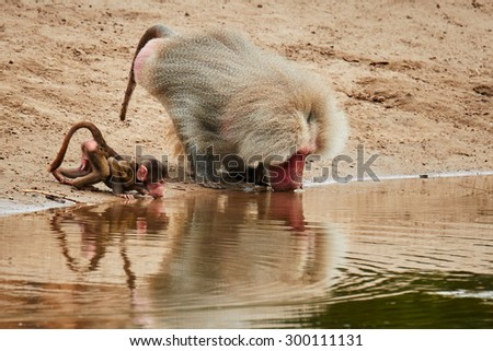 Adult Baboon and baby close together drinking out of a puddle of water