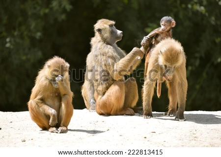 Adult baboons and young Papio on the ground - stock photo