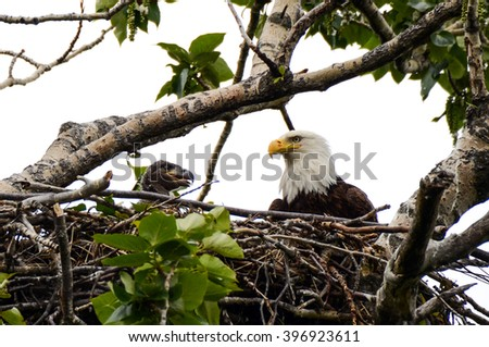Adult Bald Eagle and Chick in the nest - stock photo