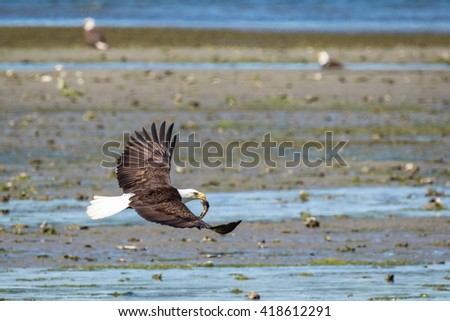 Adult Bald Eagle in flight with freshly caught fish in its beak. - stock photo