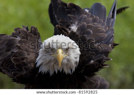 Adult bald eagle staring into camera lens - stock photo