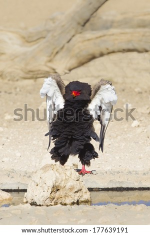 Adult Bataleur Eagle (Terathopius ecaudatus) displaying at a waterhole in the Kalahari Desert, South Africa - stock photo