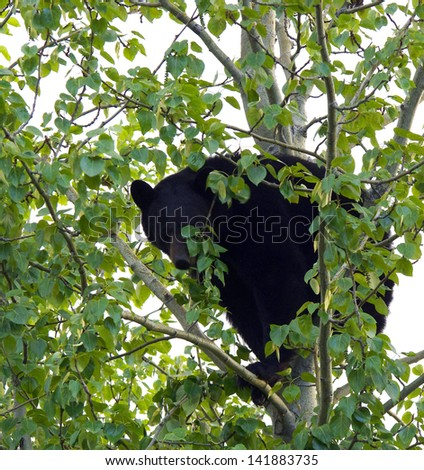 Adult Bear in Tree - stock photo