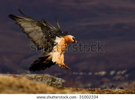 adult bearded vulture - stock photo