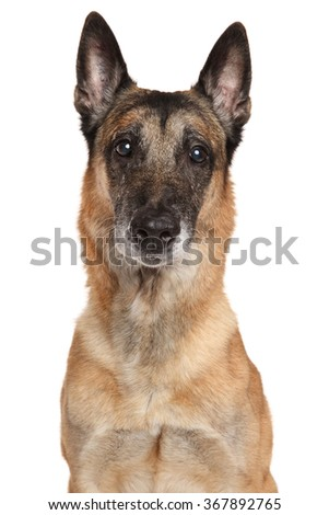 Adult Belgian Shepherd dog Malinois isolated on white background