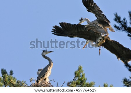 Adult bird and Grey Heron (Ardea cinerea) chick fly to the nest - stock photo