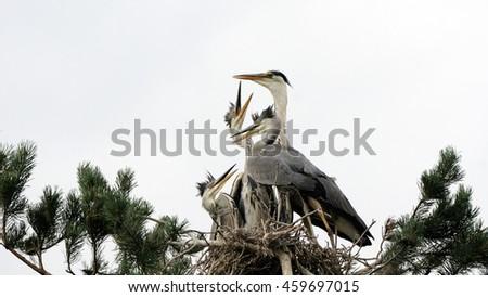 Adult bird arrived to feed Grey Heron (Ardea cinerea) juvenile birds in the nest - stock photo