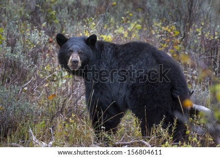 Adult black bear giving the photographer a menacing look - stock photo