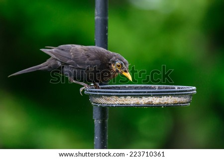 Adult blackbird (Turdus merula) perches on a seed tray on a birdfeeder in an urban British garden. Horizontal format with copy space. - stock photo