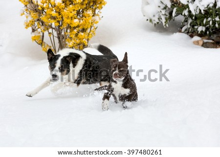 Adult Border Collie and Brown puppy Snow Day play; puppy with scared look and adult dog looking back at puppy - stock photo
