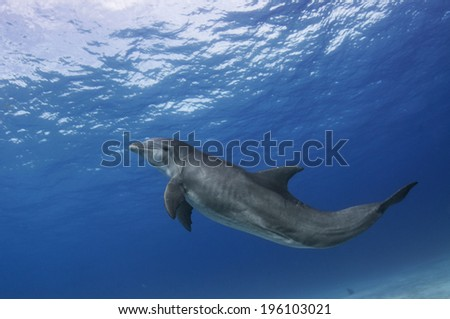 Adult Bottle-Nosed Dolphin - stock photo