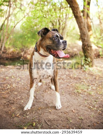 Adult Boxer Portrait In A Natural Outdoor Setting with her tongue hanging out - shallow dof - stock photo