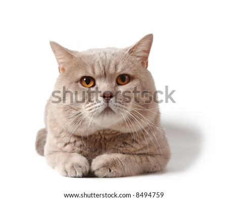 adult british cat on white background with shadow - stock photo