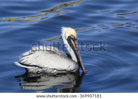 Adult Brown Pelican Reflected in the Water as He Swims - stock photo